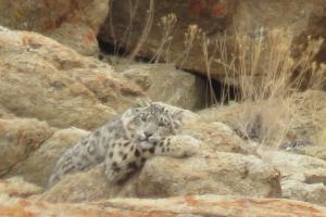 Snow Leopard Trek 2019-2020 - Ladakh-himalaya