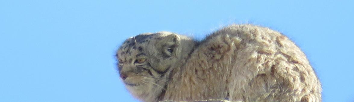 Pallas Cat Hanle