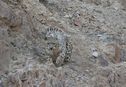 SNOW LEOPARD TREK WITH MONASTIC FESTIVAL 2020