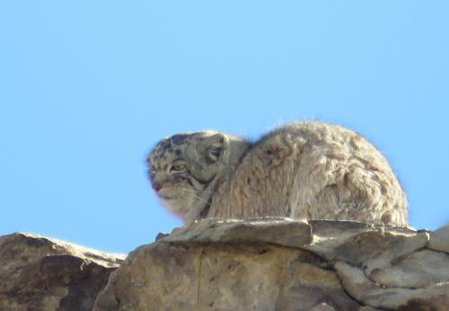Pallas Cat Hanle